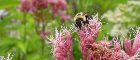 bee pollinates a wildflower