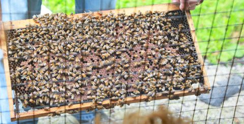 apiarist tends beehive at Kortright Centre