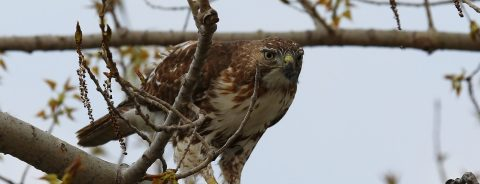 hawk perches on tree branch