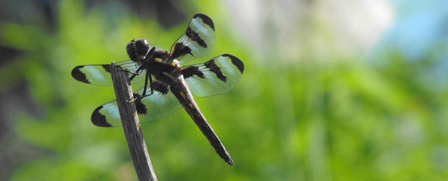 Workshop: Dragonflies and Damselflies @ Kortright Centre for Conservation