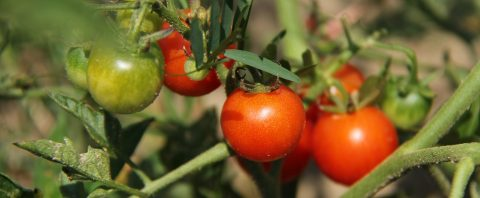 organic tomatoes on the vine