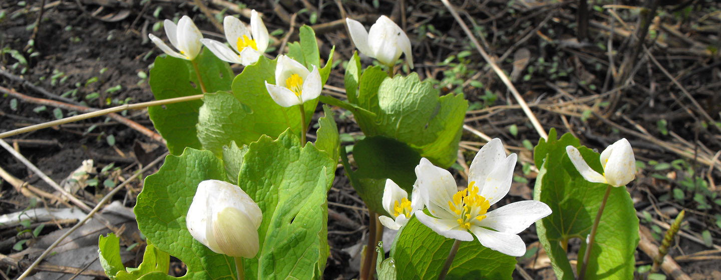 Workshop: Spring Wildflowers @ Kortright Centre for Conservation