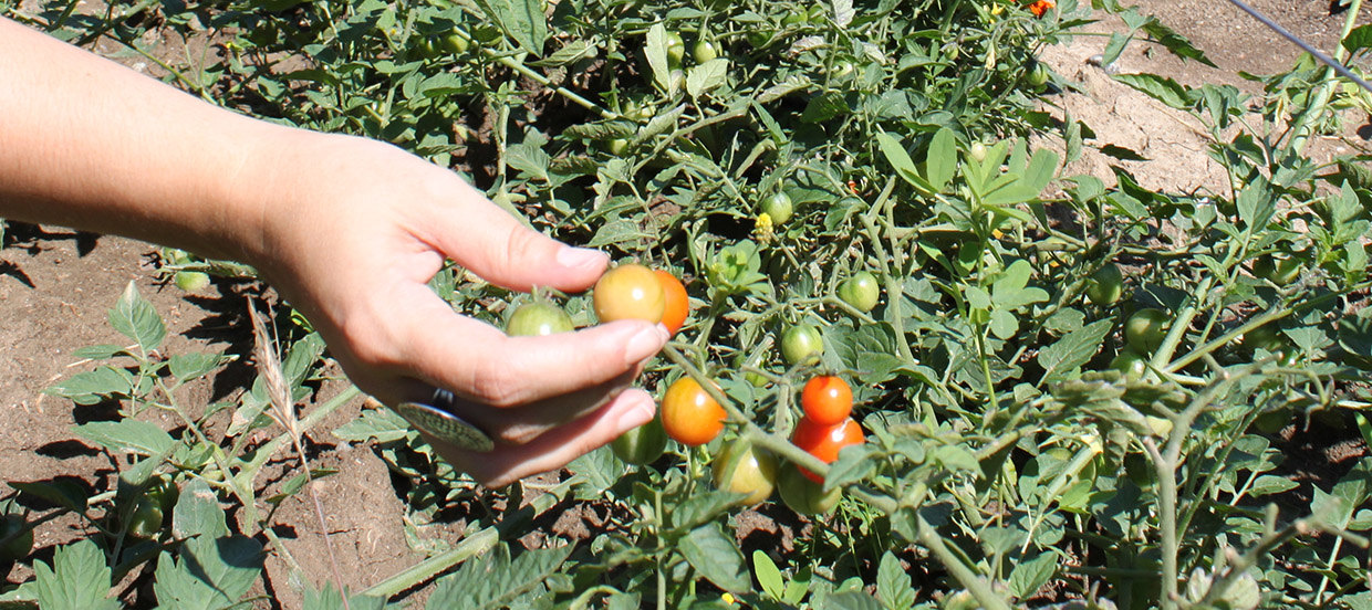 organically grown tomatoes at the Living City Farm
