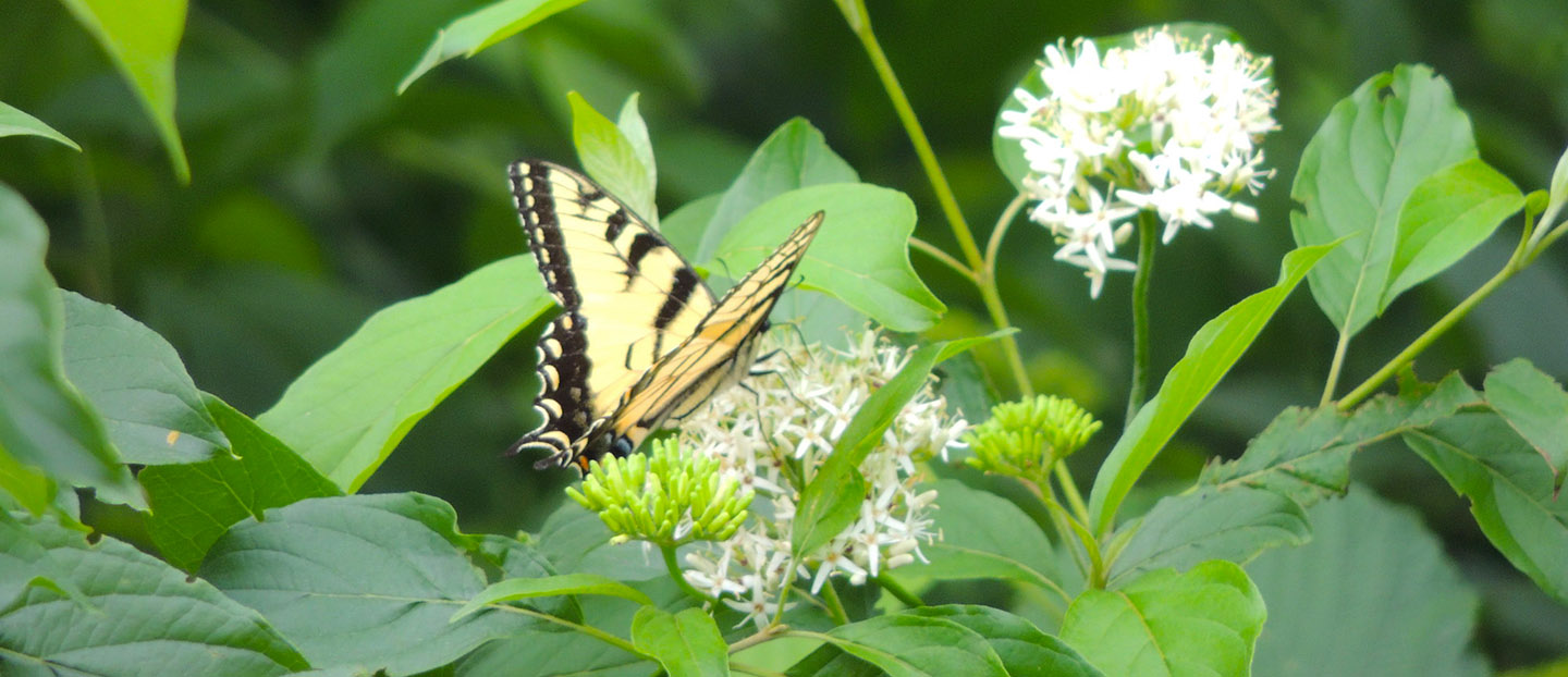 eastern swallowtail butterfly
