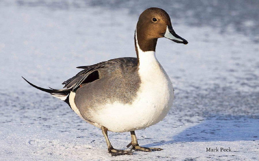 Waterfowl: Toronto's Winter Spectacle @ Tommy Thompson Park | Toronto | Ontario | Canada
