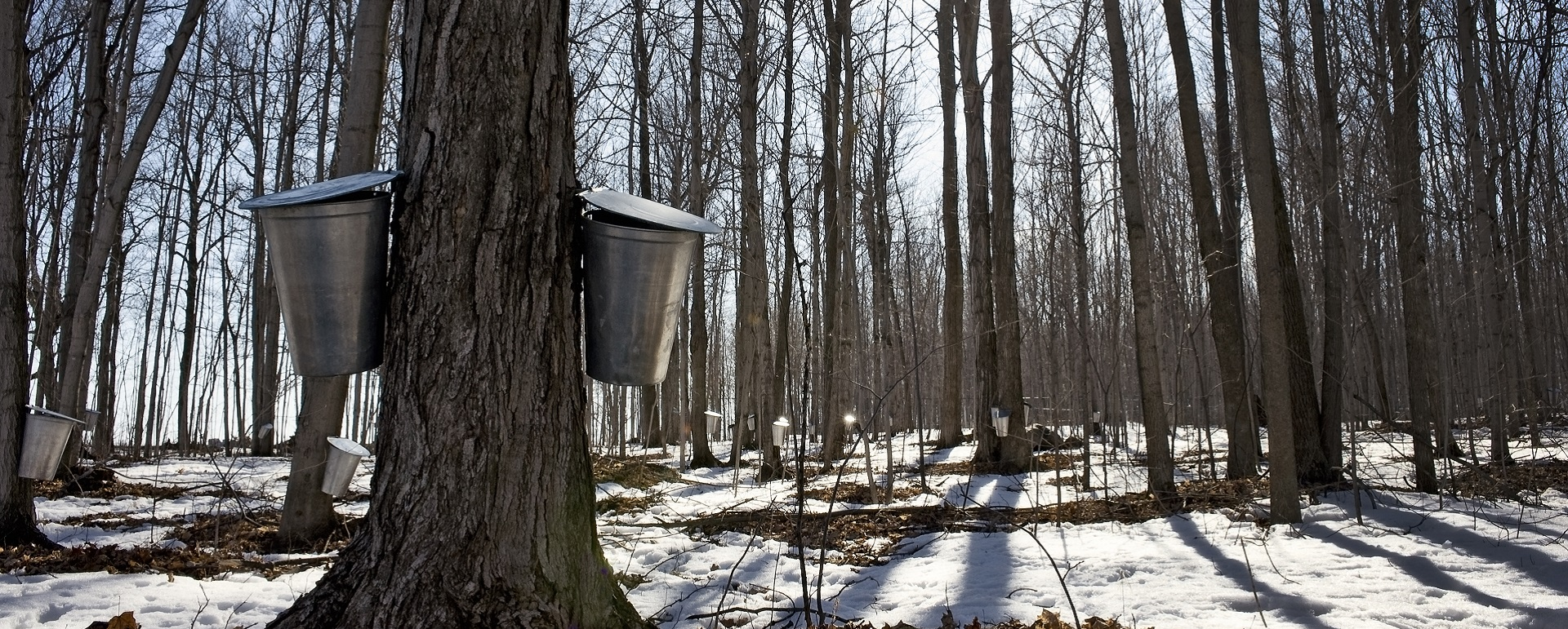 tree with maple syrup buckets