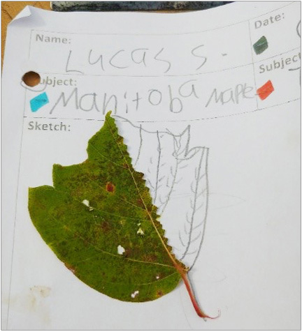 pencil sketch of Manitoba maple tree leaf by a student at The Nature School