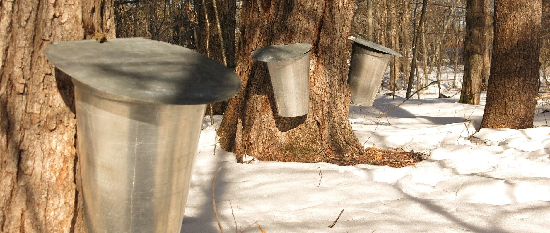 tin buckets capture sap from maple trees to make maple syrup