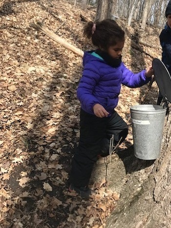 student at The Nature School checks bucket hanging from maple tree to see how much sap has been collected
